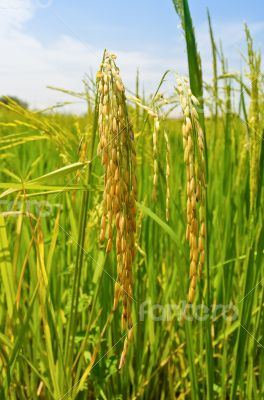 Ripe heads of grain