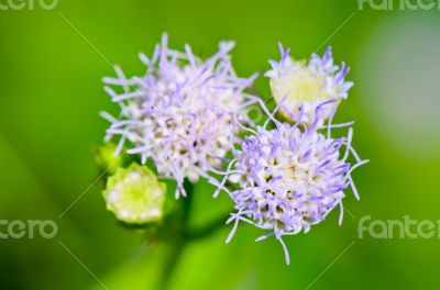 Flowers of Billy Goat Weed ( Ageratum conyzoides )