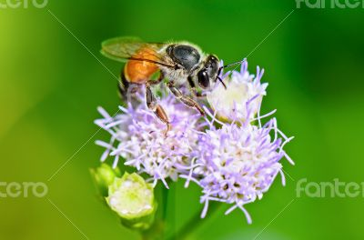 Small bees looking for nectar