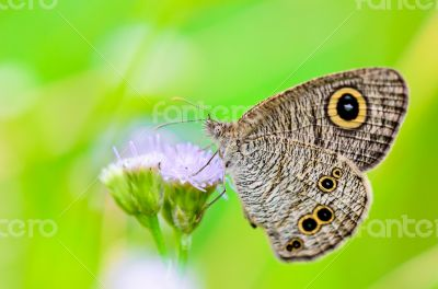 Close up of a grey-brown butterfly with `eye` spots on its wings