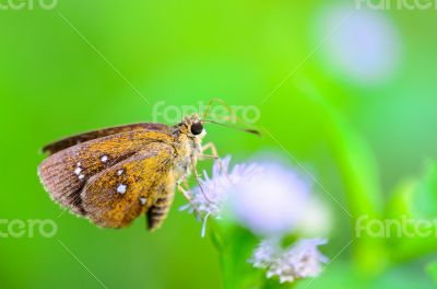 Chestnut Bob or lambrix salsala, Close up small brown butterfly