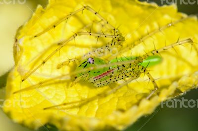 Green Lynx Spider is a conspicuous bright-green spider found on