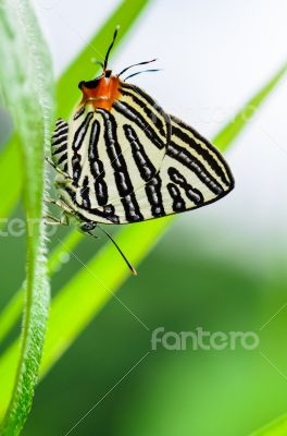 Club Silverline or Spindasis syama terana butterfly resting on a