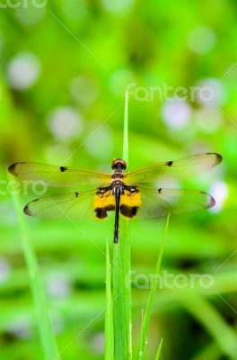 Dragonfly with black and yellow markings on its wings