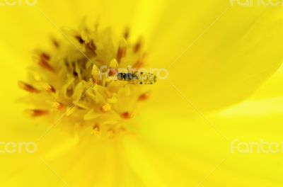 Tiny insects forage on yellow pollen