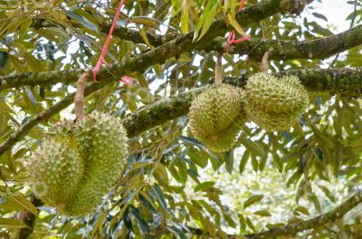 Durian on tree King of fruits in Thailand
