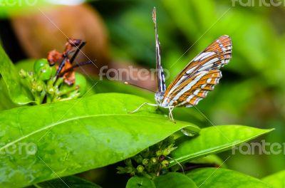 Common Sailor butterfly (Neptis hylas papaja)