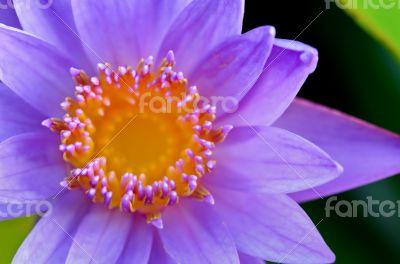 Close up top of Purple Lotus ( Nymphaea Nouchali )