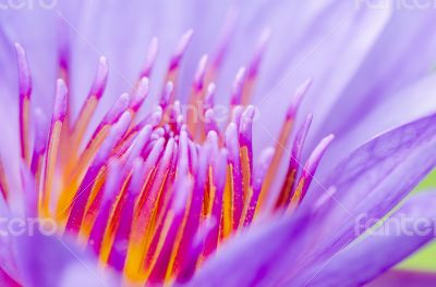 Macro pollen of purple lotus ( Nymphaea Nouchali )
