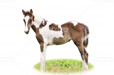 Brown and white foal isolated