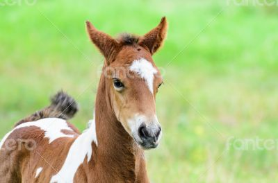 Close up foal with brown and white