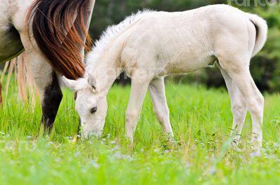 White foal graze near the mother
