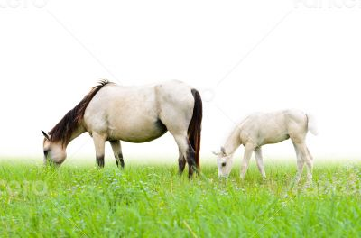 Horse mare and foal in grass on white background