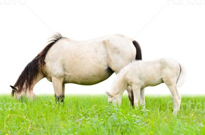 White horse mare and foal in grass