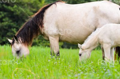 Black white Horse mare and foal in grass