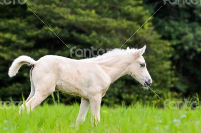 White horse foal in green grass