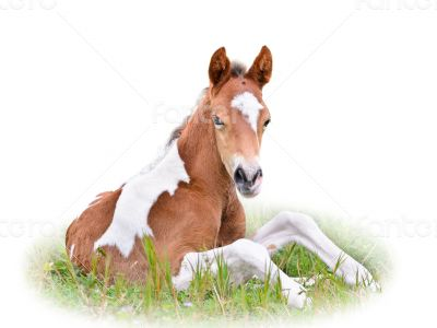 Horse foal resting in grass isolated on white