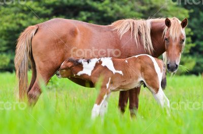 Horse foal suckling from mare