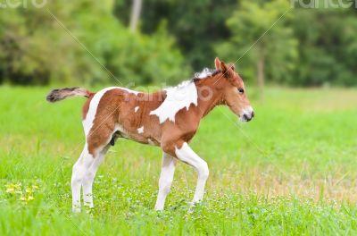 Horse foal walking in green grass