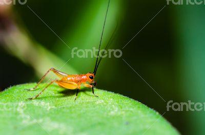 Conocephalus Melas tiny red young Cricket