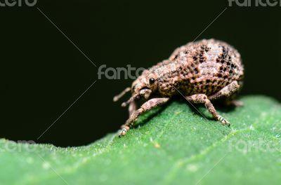 Macro Otiorhynchus Scaber or Weevil
