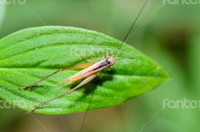 Brown Cricket (insect)