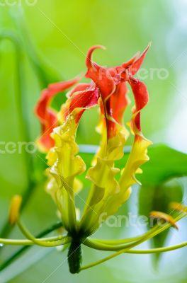Gloriosa Superba or Climbing Lily flower