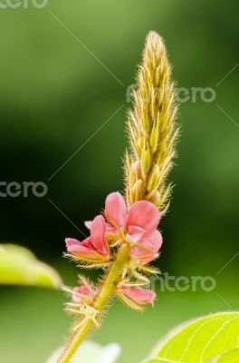 Small panicle of pink flower in meadow