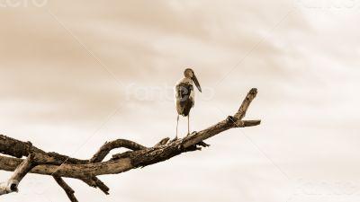 Asian Openbill (Anastomus oscitans) White bird standing alone, s