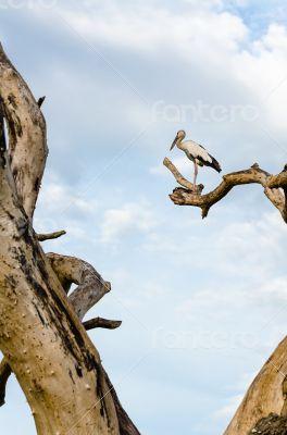 Asian Openbill (Anastomus oscitans) White bird standing alone