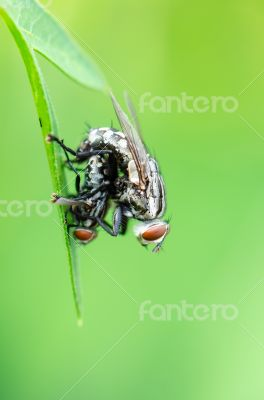 Flesh Fly mating