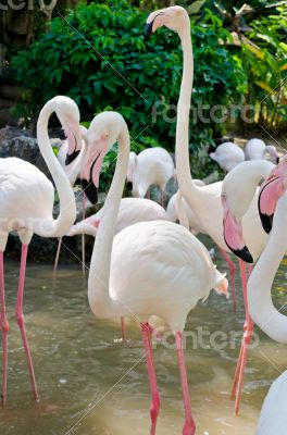 Greater Flamingos bird