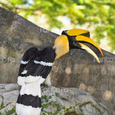 Great Hornbill or Buceros bicornis large birds in Thailan