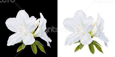 Rhododendron moulmeinene Hook flowers isolated on white and blac