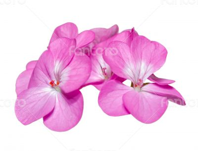 Pink Geranium ( Palargonium x hortorum ) flowers isolated on whi