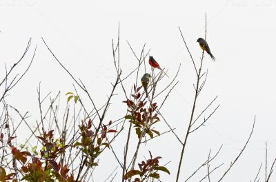 Scarlet Minivet birds, Males are redness, Female and the chicks