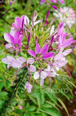 Multi-colored Cleome (spider flower) in garden