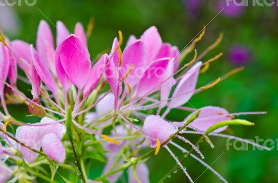 Close up pink Cleome flowers filled with dew drops