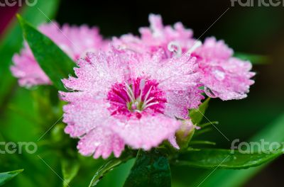 Pink Dianthus flowers filled with dew drops