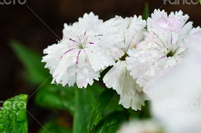 White Dianthus flowers filled with dew drops