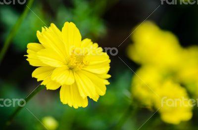 Yellow Cosmos flower (Cosmos sulphureus)