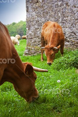 eating cows
