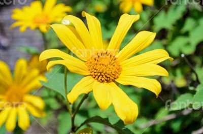 Mexican Sunflower Weed, Flowers are bright yellow