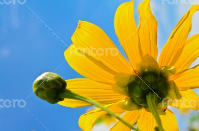 Close up Mexican Sunflower Weed, Flowers are bright yellow