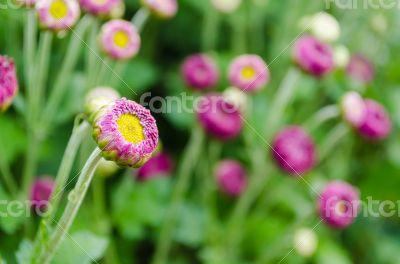 Flowers bud of Magenta chrysanthemum