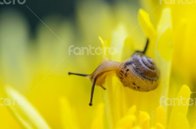 Close up Snail on yellow Chrysanthemum flowers