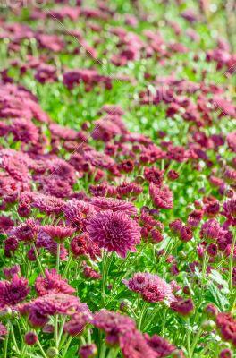 Magenta Chrysanthemum Morifolium flowers farms