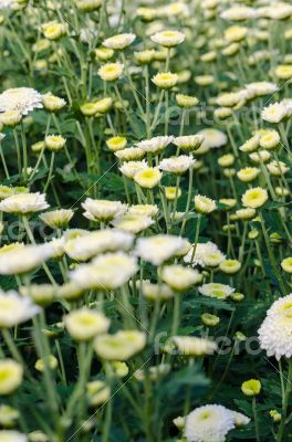 White Chrysanthemum Morifolium flowers garden