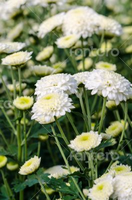 White Chrysanthemum Morifolium flowers in garden