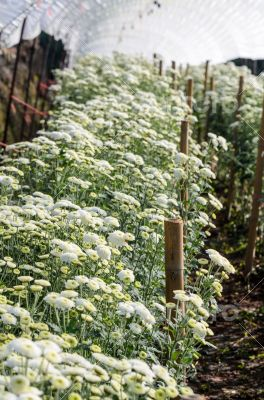 White Chrysanthemum Morifolium flowers farms